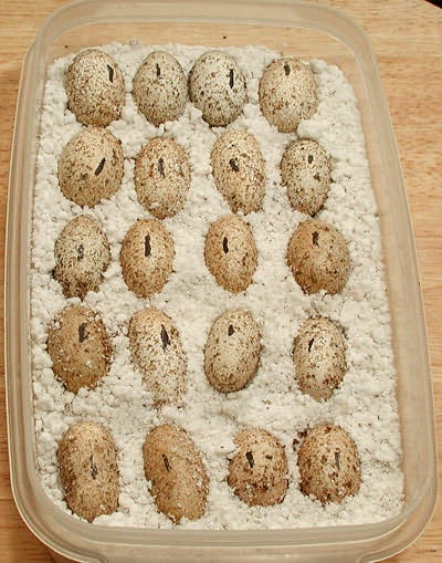 Albey S How To Incubate Leopard Gecko Eggs