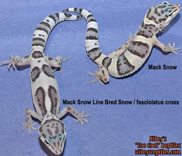 Mack Snow fasciolatis + Mack Snow