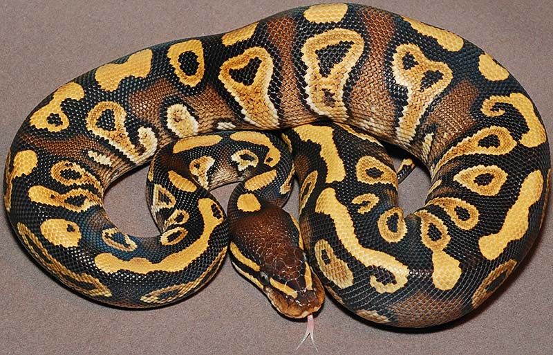 Pastel mystic ball python - photo#19