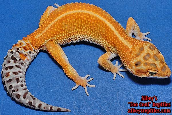 Albey's Available Leopard Geckos